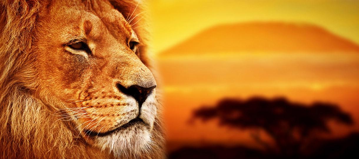 toraza-zenith-lion